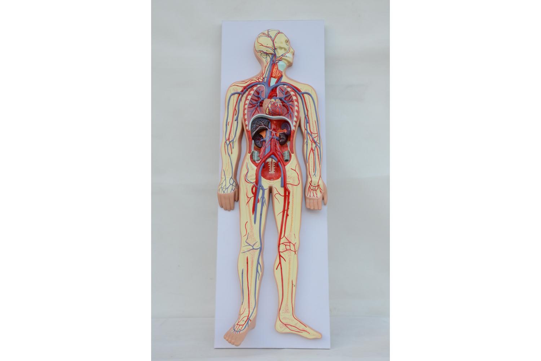знакомство с внутренними органами